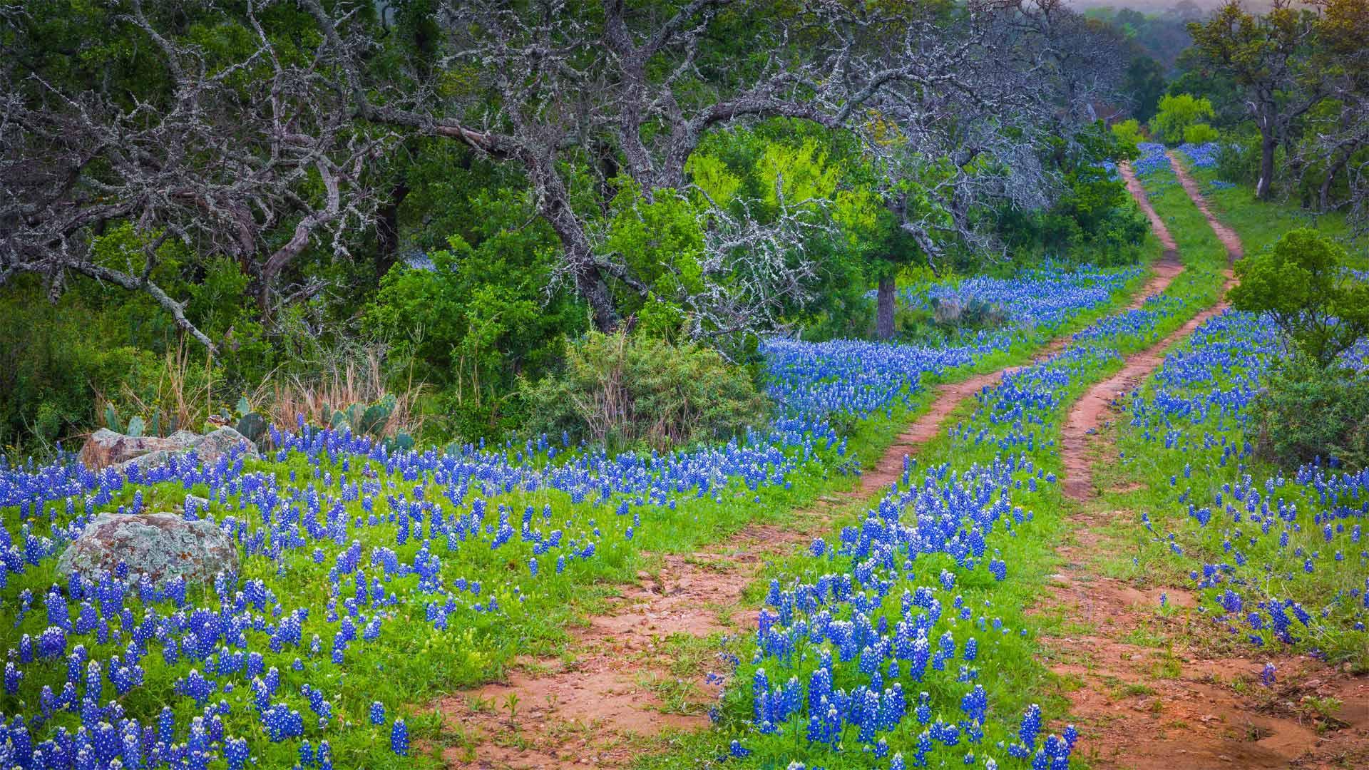 印克斯湖国家公园中的德克萨斯矢车菊,德克萨斯州
