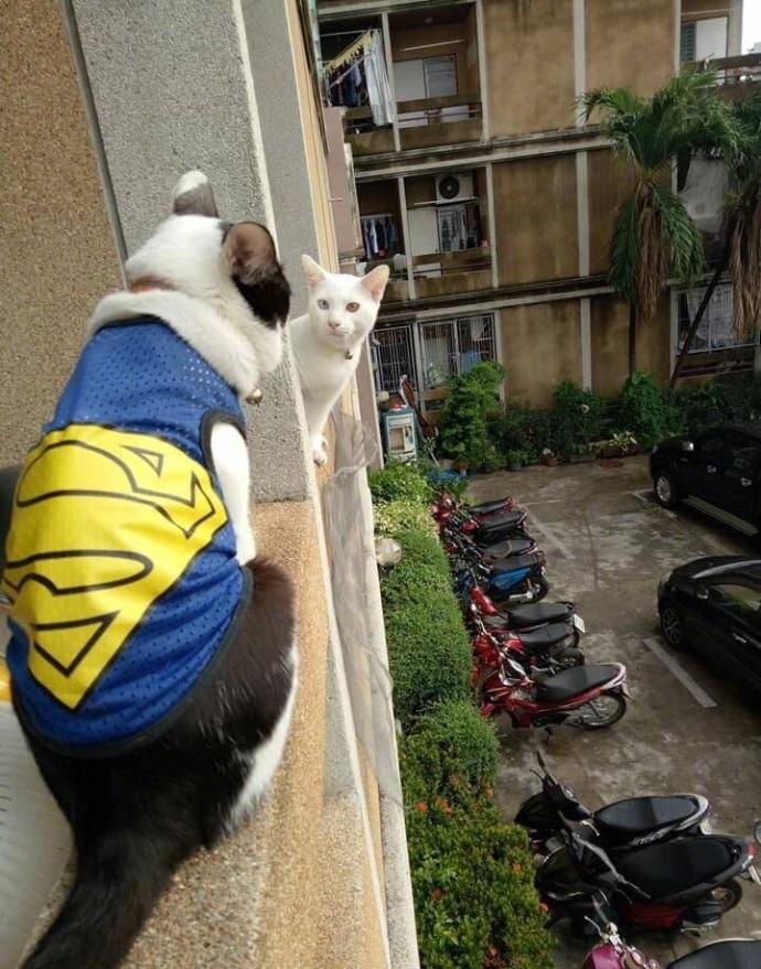 刚搬完新家,家里的猫就跟邻居的猫勾搭上了,结果被人家猫老公发现了…