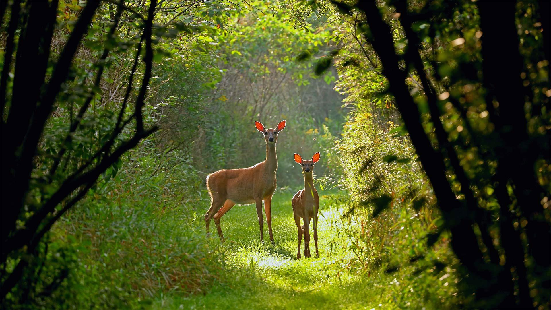 威斯康星州的白尾母鹿和小鹿