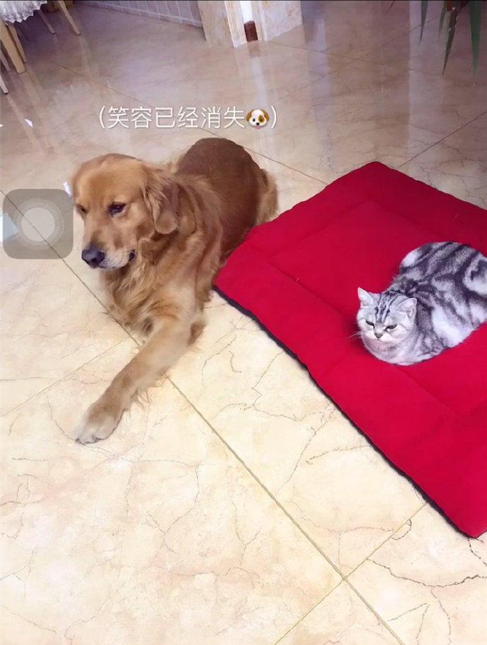 金毛:这个毯子我也想要我的一席之地