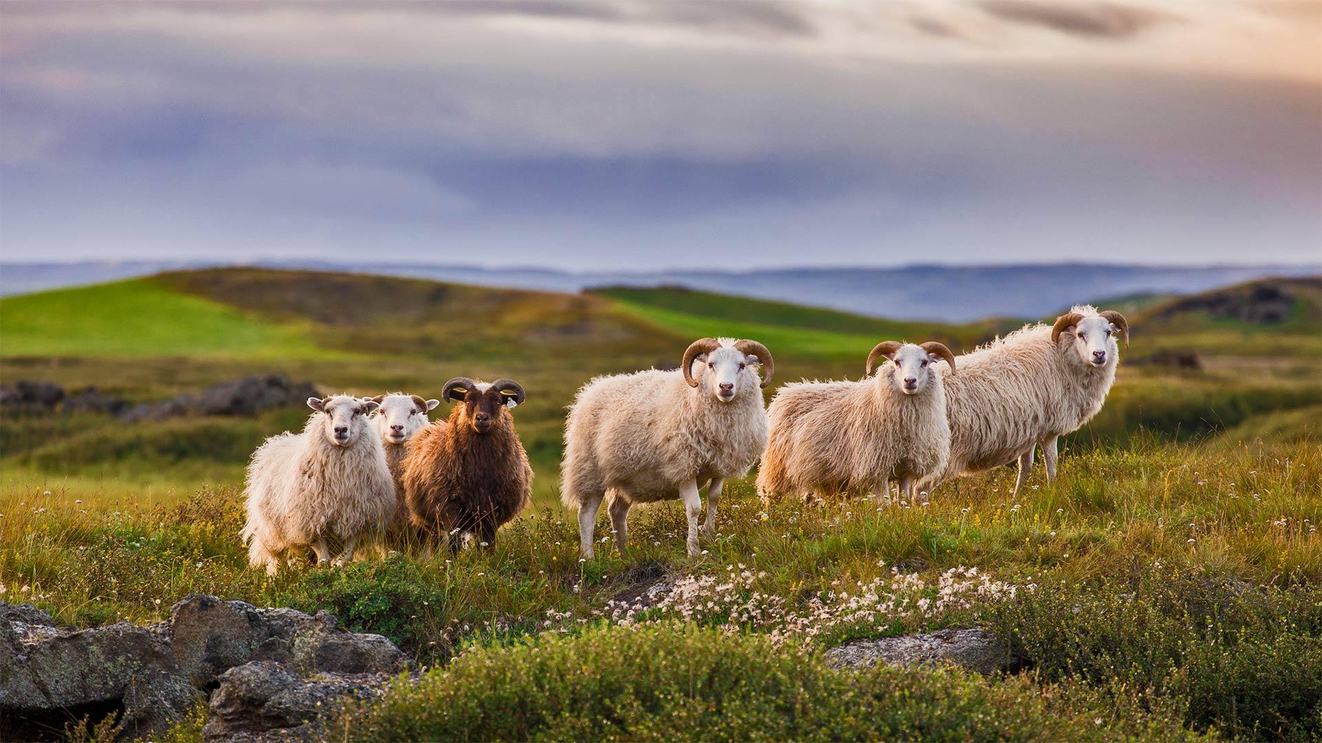 为圈羊节准备的冰岛羊