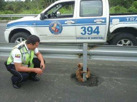 """厄瓜多尔高速上的一只被困的树懒:""""每个车开的都像光速,本宝宝实在过不去啊。。。"""""""