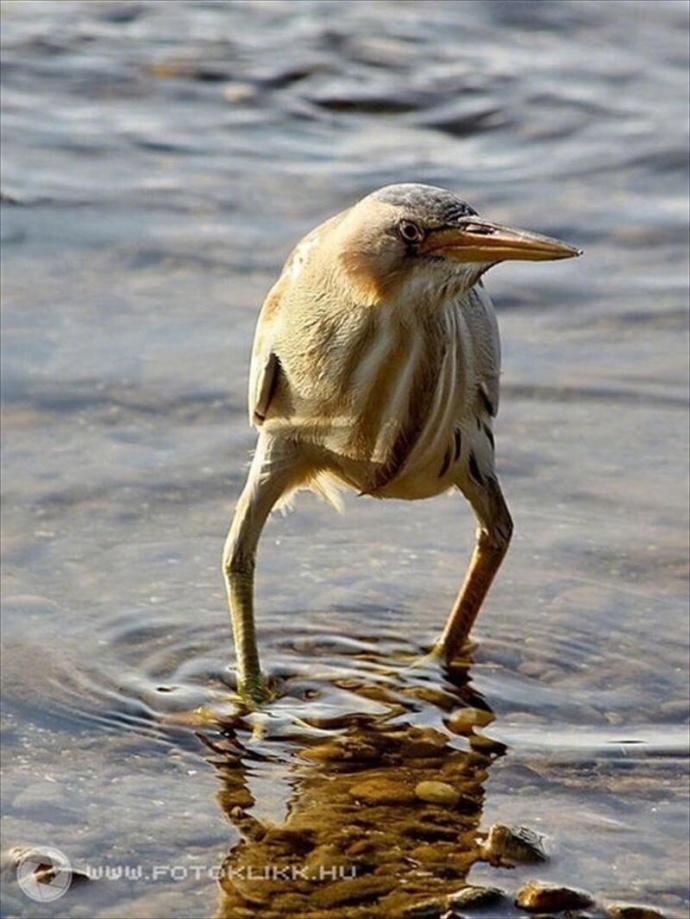 黄苇鳽,画风很有问题的长腿长脖子偶巴…堪称鸟界李光洙