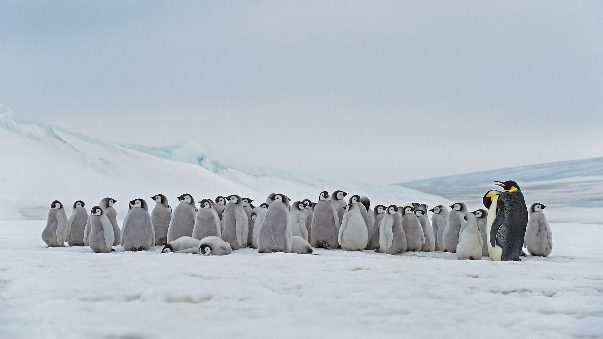 栖息在斯诺希尔岛的成年帝企鹅和幼崽,南极