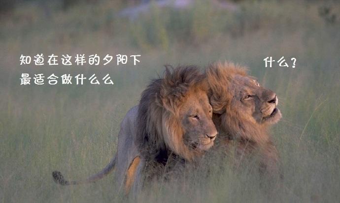 在博兹瓦纳一片茫茫的大草原上….. 最近出现了两只搞基的狮子……. 当地向导说, 这两只狮子从上个星期开始就已经互相搞在一起….. 对周围的母狮一点兴趣都没有…… 每天上演的…. 都是这样的戏码↓↓↓