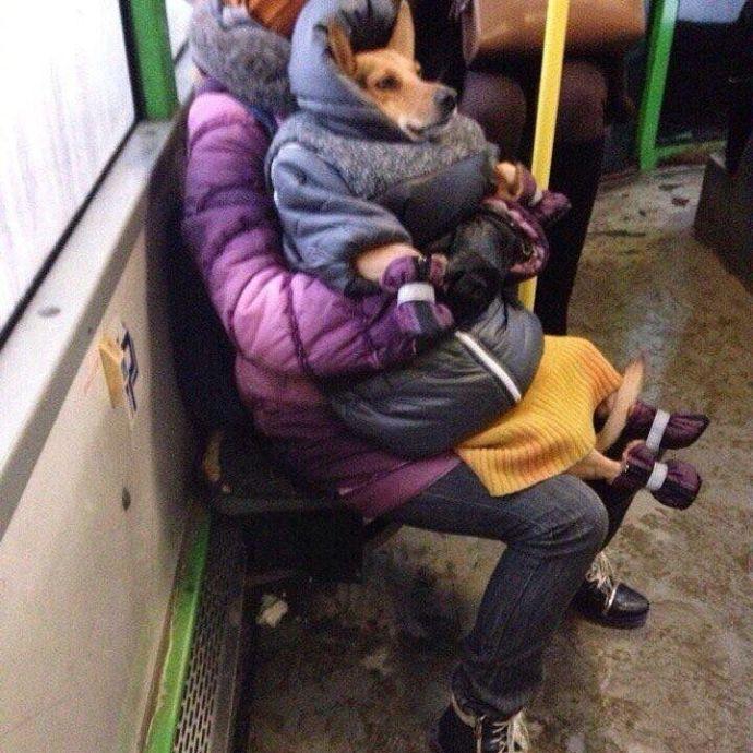 俄罗斯的冬天很冷,但这只狗子有自己的御寒装备,看着非常保暖了。谁还不能穿个羽绒服毛线裙,戴个爪套咋滴?
