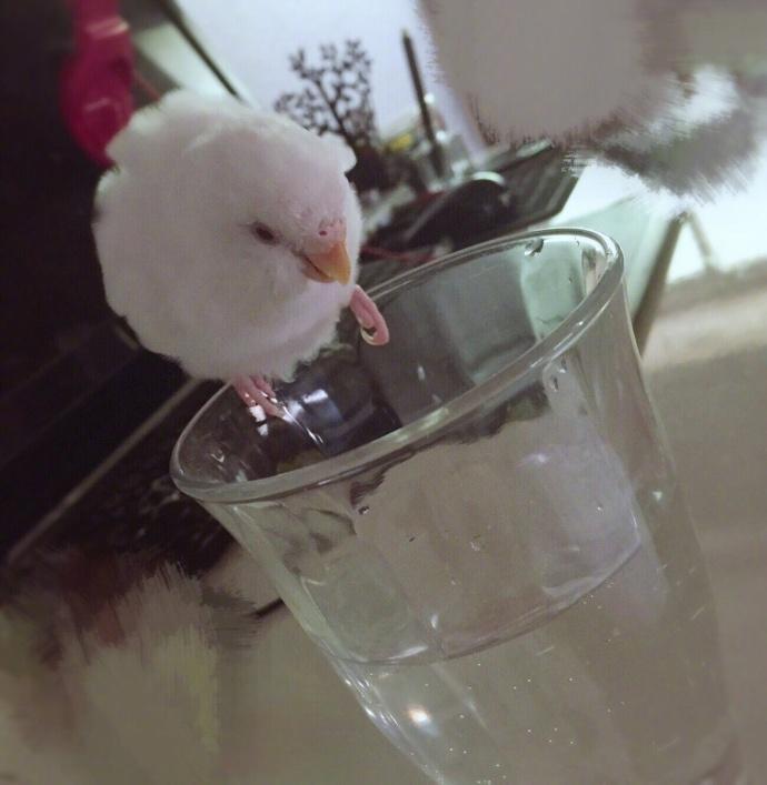当主人满怀期待,想看看她家宠物鸟会用何种机智的方式喝到杯子里的水时……