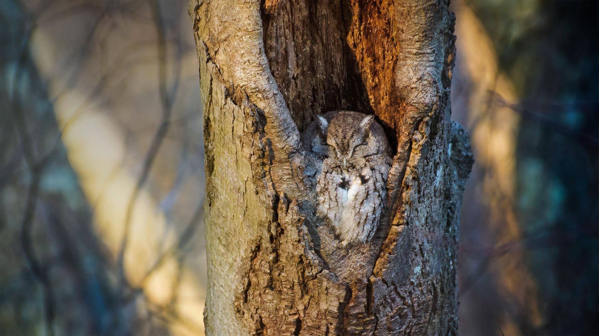在树洞中休息的鸣角鸮,纽约马萨皮夸保护区