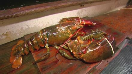 纽约一个海鲜餐厅老板Steve Jordan花150美元从一个渔民手里买下一只20斤重的大龙虾,估计这个龙虾至少95岁高龄了,他准备把龙虾捐给水族馆安度晚年