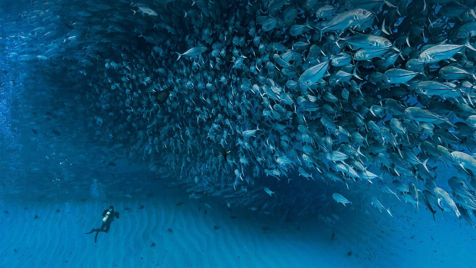 加利福尼亚湾中数千条杰克鱼成群游动,墨西哥普尔莫角国家公园