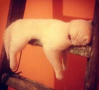 某网友家里的喵星人原本是趴在梯子上睡的,过了一阵子之後睡成这样子了。。。为什么好像一条擦手的毛巾啊。。。。好好做喵可以吗?
