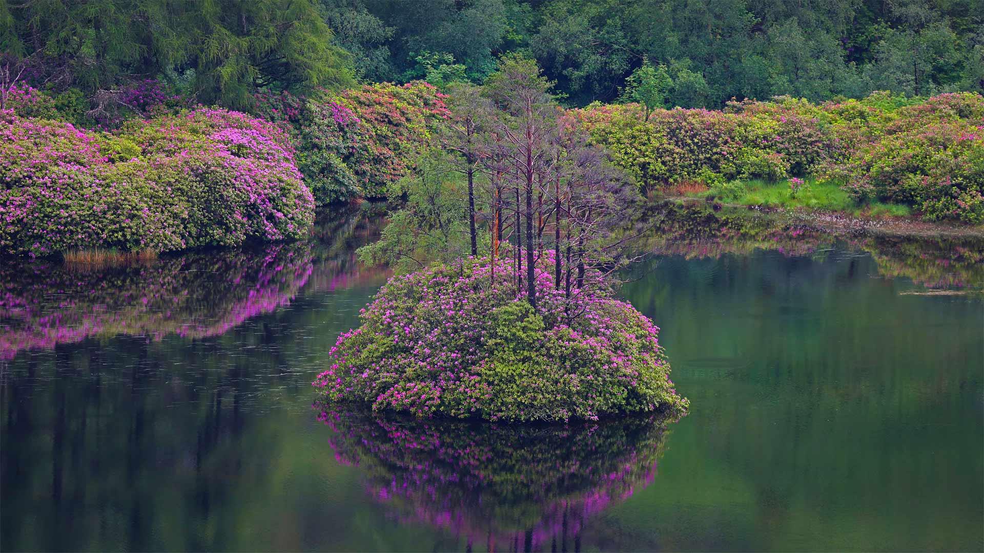 格伦·埃蒂夫盛开着石南花的小湖,苏格兰