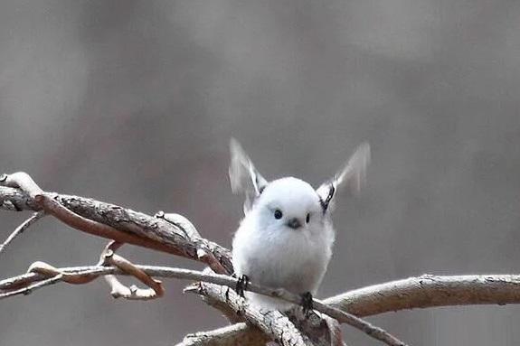 银喉长尾山雀,学名肥啾,它的存在是科学界十大未解之谜之一,因为人们始终无法明白,这么小的翅膀是如何支撑这个圆滚滚的身体扑腾扑腾地飞行的……